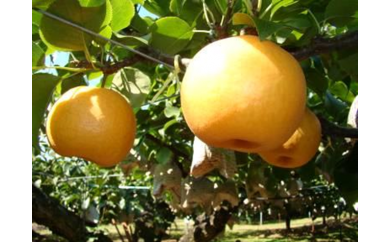 ◆【A18】新興梨(7.5kg箱)※平成30年収穫分・早期予約