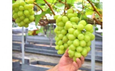 [№5885-0038]東京・東村山産シャインマスカット2房と旬のブドウ詰め合わせ