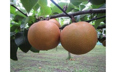 A11 豊水梨