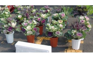AG30 葉ぼたん鉢植え【15000pt】