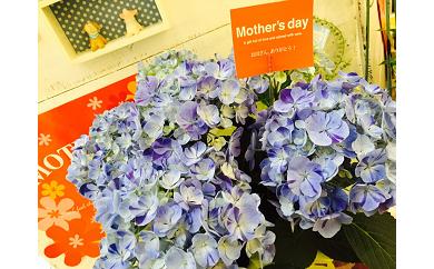 D-176 【母の日ギフト】お母さんへのプレゼントに!あじさい(鉢花、カゴ入り)