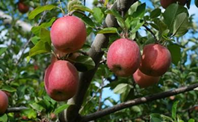 [№5666-0078]益子町産 葉とらずりんご 10kg