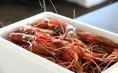 期間限定!日本海のシマエビ1.5kg!