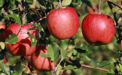 [№5854-0126]飯綱のりんご サンふじ 約5kg