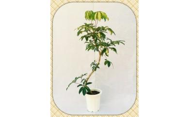 [№5672-0065]プロが選ぶ観葉植物プレミアム~ 曲りシリーズ ~10号鉢