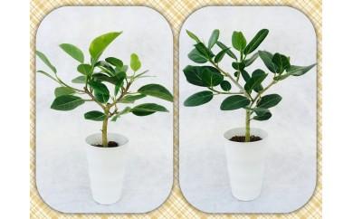 [№5672-0108]プロが選ぶ観葉植物 ~6号鉢2個セット~