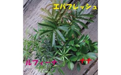 [№5672-0118]プロが選ぶ観葉植物 ~4号鉢3個セット~