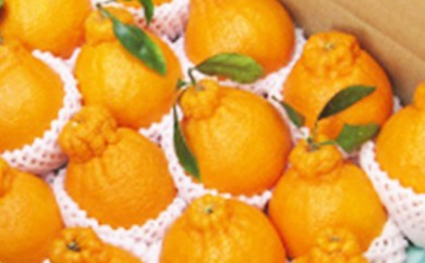 【B015】青果市場厳選 柑橘の王様 しらぬひ 約5kg