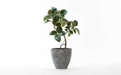 33-006 お花屋さんが選ぶ観葉植物 ゴムの木(8号)