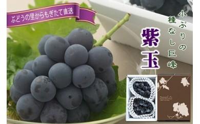 1324 150箱限定!巨峰から生まれた早熟品種 『紫玉 (しぎょく)』