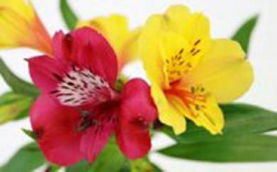 [№5659-0327]花(アルストロメリア) 3箱