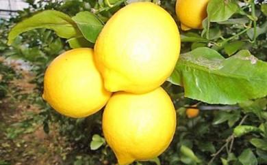[№5850-0157]特選ハウスイエローレモン※エコファーマー栽培