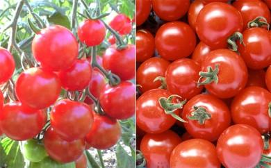 [№5795-0092]特別栽培絶品ミニトマト(キャロル7・千果)2パックセット(1.9kg)