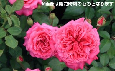 B0-146 バラ鉢植え「アイバーズローズ」