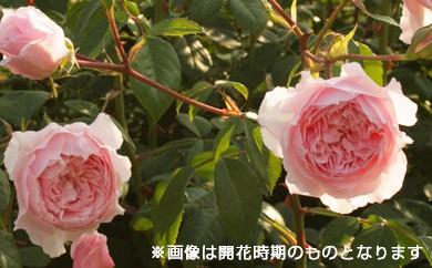 B0-147 バラ鉢植え「ウィズレー2008」
