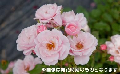 B0-148 バラ鉢植え「キティーズローズ」
