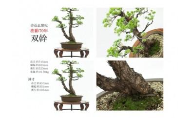 【盆栽】赤石五葉松 双幹 樹齢70年【四国五葉松】