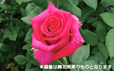 [№5649-0061]バラ鉢植え「パンセ」