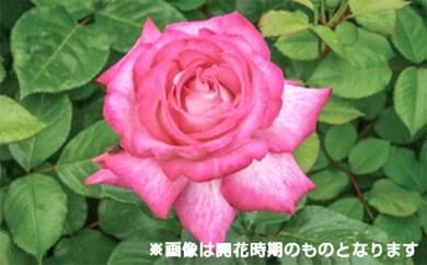 [№5649-0064]バラ鉢植え「ローズ ゴジャール」