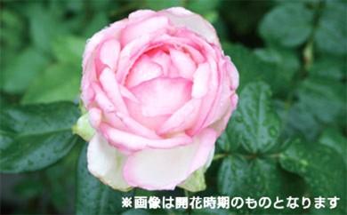 [№5649-0063]バラ鉢植え「ローズ オプティミスト」