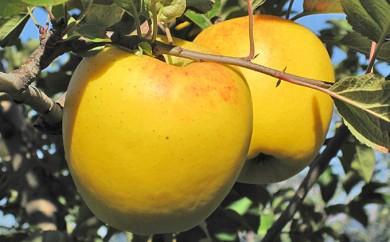 [№5675-0165]アルプスの風発 りんご(シナノゴールド)5kg