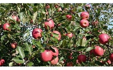 E1501 りんご一筋55年 「樹上完熟ふじ」