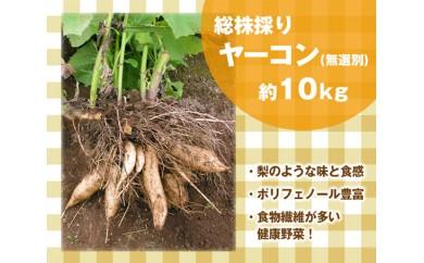 No.065 総株穫りヤーコン(無選別・土付き) / ポリフェノール 食物繊維豊富 健康野菜 北海道 人気
