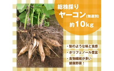 No.065 総株穫りヤーコン(無選別・土付き)