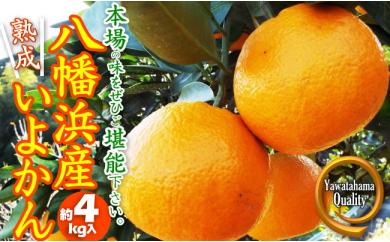 "C28-6.""熟成""八幡浜産いよかん"