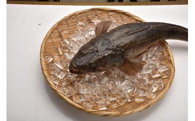「愛海の恵み」大分豊後水道産 天然マゴチ(約2kg 1~2本)