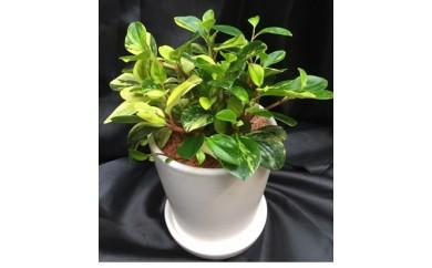 (680)観葉植物~ペペロア陶器植え