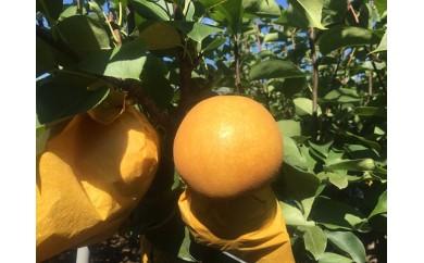 C38-3.きくちさんちの梨 品種「新高(にいたか)」