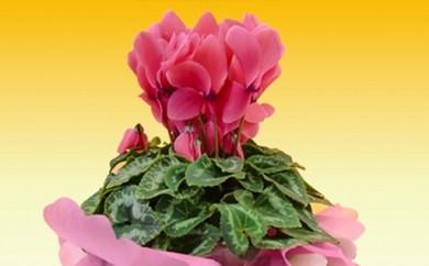 A119:冬の花シクラメン