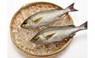 「愛海の恵み」大分豊後水道産 天然イサキ(約2kg 2~4本)