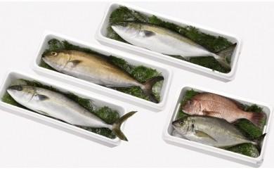 【高級魚定期便】☆海の直売所自慢☆大切に育てた人気高級魚が年4回届く【94,000pt】