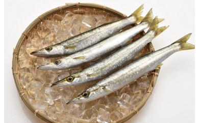 【CS17】「愛海の恵み」大分豊後水道産 天然アカカマス(約2kg 6~10本)【24,000pt】
