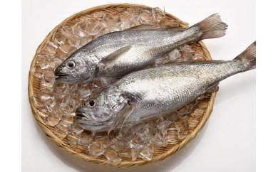「愛海の恵み」大分豊後水道産 天然クログチ(約2kg 2~4本)
