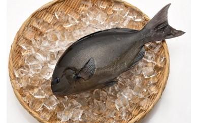 「愛海の恵み」大分豊後水道産 天然メジナ(約2kg 2~4枚)