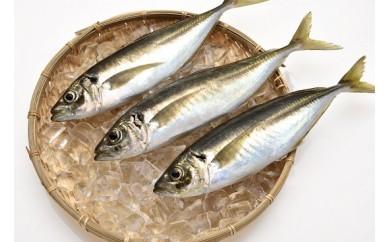 「愛海の恵み」 大分豊後水道産 天然真鯵(約2kg 5~7本)