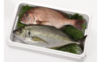 ☆海の直売所☆活神経締め!大人気シマアジとマダイの新鮮鮮魚セット