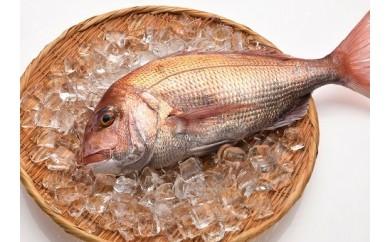 「愛海の恵み」大分豊後水道産 天然真鯛(約1.8㎏~約2kg 1枚)