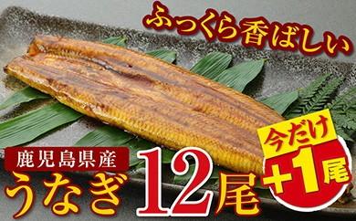 612 今だけ13尾!!鹿児島県産特上うなぎ12尾+1尾 ふっくら香ばしい!