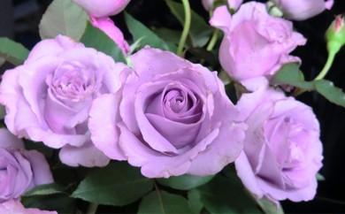 [№5905-0073]バラ(夜来香)鉢苗(2年生苗)