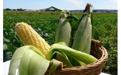 [№5749-0216]北海道ホープランド農場のもぎたてとうもろこし(黄色)20~24本