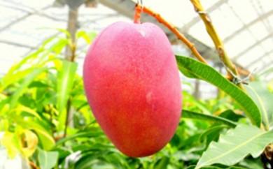 [№5747-0134]西表島農園ファイミール産 完熟アップルマンゴー 700g