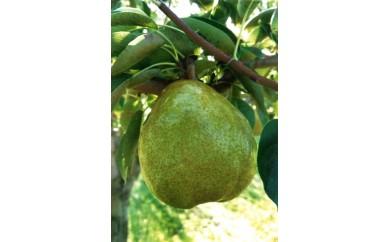 【B54】洋梨の女王「ラフランス」 5kg