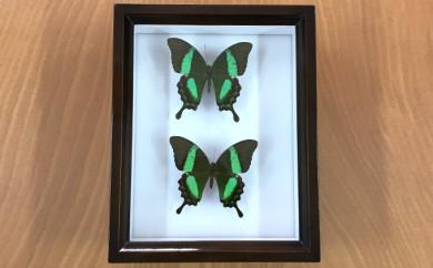 [№5757-0047]昆虫標本箱(ドイツ箱)オオルリアゲハ蝶2頭入れ