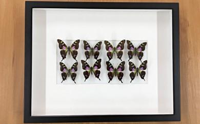 [№5757-0048]昆虫標本箱(ドイツ箱)ミイロタイマイ蝶8頭入れ