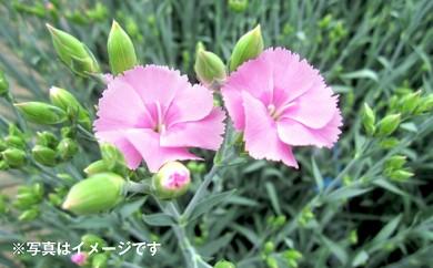 [№5783-0210]月形町産花き ソネット(50cm)100本