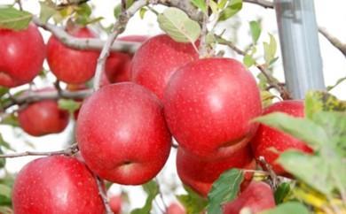 [№5764-0262]かづのりんご「サンふじ」10kg